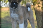 Picture of Beautiful Baby Mercy!!!~AKC CH SIRED!!~STUNNING!