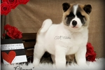 Picture of Darling Baby Glimmer!!!  AKC CH Sired~ QUALITY