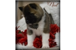 Picture of Stunning Baby Noel~AKC Champion Sired~WOW~WOW~