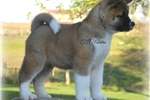 Picture of Darling Baby Mylee!!!  AKC CH Sired~ QUALITY