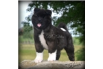 Precious Baby Konner~PERFECT In Every Way! | Puppy at 12 weeks of age for sale