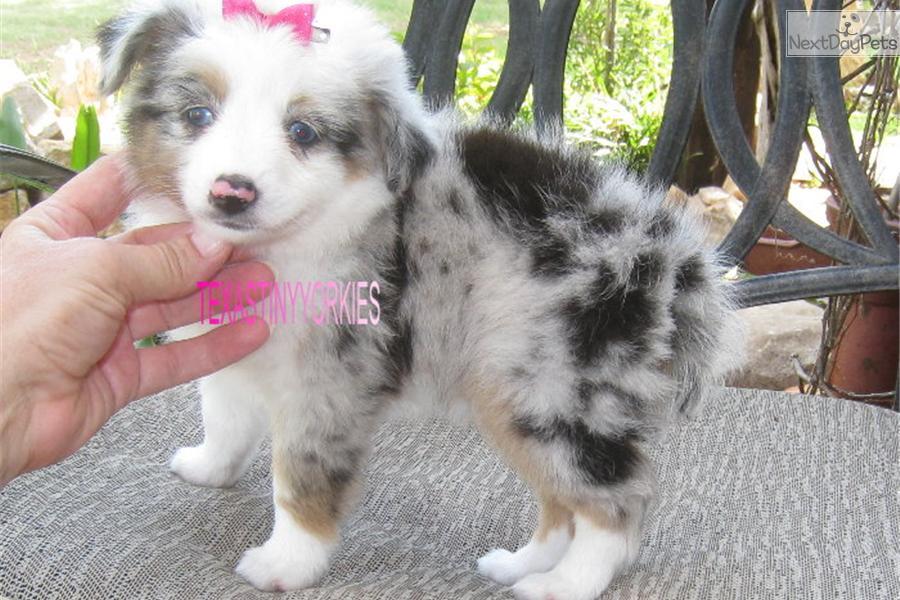 Miniature Australian Shepherd puppy for sale near Abilene, Texas ...