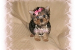 Picture of ADOREABLE!!  TINY TOY FEMALE YORKIE