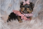 Picture of EXQUISITE!    TINY MICRO TEACUP  YORKIE