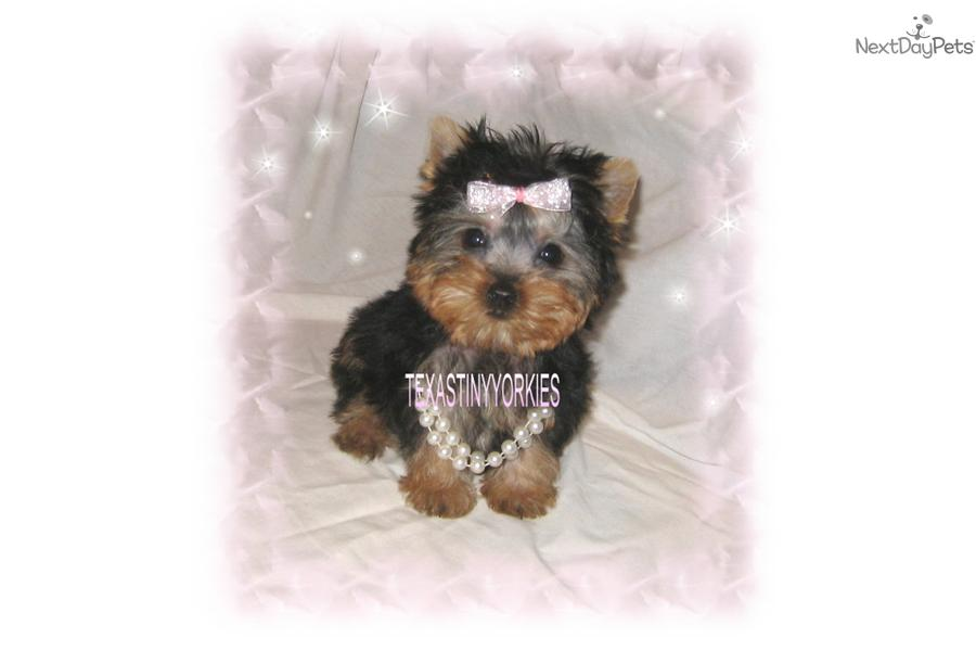 Pictures Of Tea Cup Non Shedding Dogs To Download Pictures Of Tea Cup ...