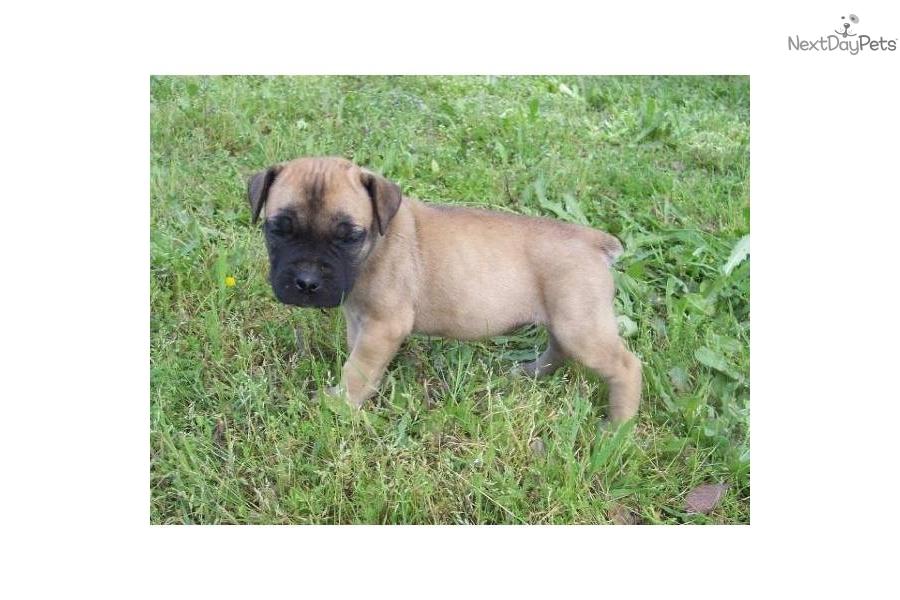 ... sale dogs and puppies gauteng pretoria boerboel puppies for sale