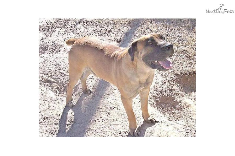 sale/dogs-and-puppies/gauteng/pretoria/boerboel-pups-for-sale-17983937 ...