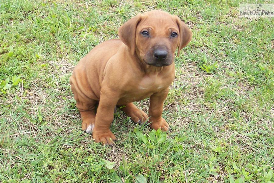 rhodesian ridgeback puppies for sale in nh