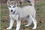 Picture of  Candy Rock's Giant Alaskan Malamutes