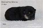 Shiba Inu for sale
