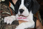Nice Big Blocky Euro's!!!!!!   | Puppy at 8 weeks of age for sale