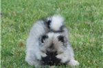 Picture of Health tested , KEESHOND HEAVEN