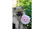 Picture of Health tested  Keeshond