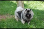 Picture of Health Tested AKC keeshond  puppy