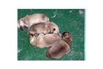 Picture of AKC Norwegian Buhund Female Puppy