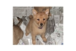 Picture of a Finnish Spitz Puppy