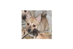 Picture of Norwegian Buhund Pups Born 10/11/09
