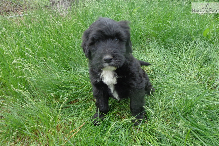 Male Portuguese Water Dog Puppies For Sale