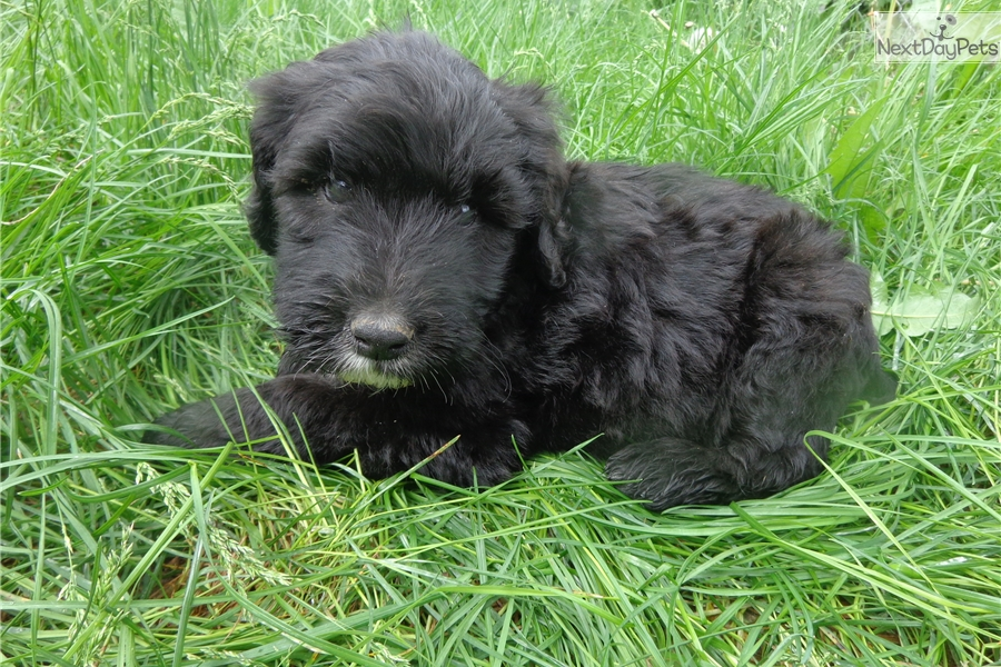 Portuguese Water Dog Puppies For Sale Bc