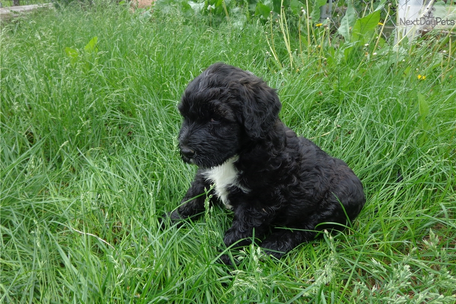 Portuguese Water Dog For Sale Near Me