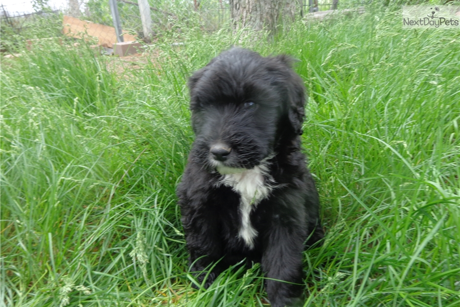 Portuguese Water Dog Puppies Colorado