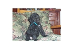 Picture of a Portuguese Water Dog Puppy