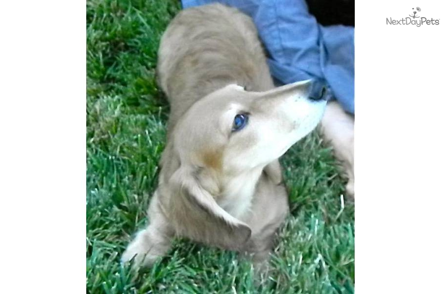 Shaded Cream Dachshund Puppies http://www.nextdaypets.com/directory/dogs/4c29ae8d-8dc1.aspx