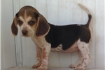 Picture of Awesome Beagle pup