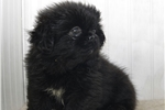 Picture of Awesome AKC Peke pup in NC
