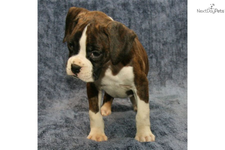 how to train a boxer puppy to pee outside