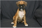 Price just reduced to $2000, don't miss out!  | Puppy at 15 weeks of age for sale