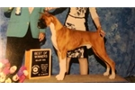 Picture of Check out his new video! AKC Champion sired!