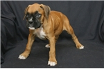 Picture of Super sweet Boxer baby