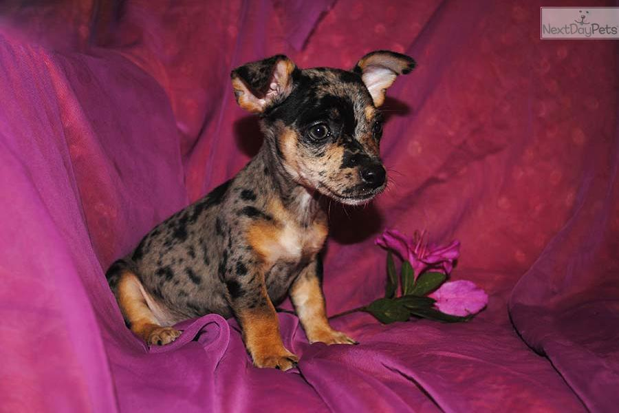 Meet Royal a cute Rat Terrier puppy for sale for $600. Toy ...