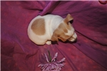 Picture of Fig, a female toy blue fawn  Rat Terrier