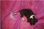 Picture of Baby Ruth,a toy chocolate tri male Rat Terrier