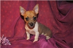 Picture of Berry, a female toy blue fawn tuxedo Rat Terrier