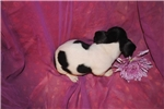 Picture of Curley Wurley,a toy black tri male Rat Terrier