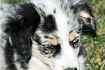 Picture of Striking Blue Merle Female