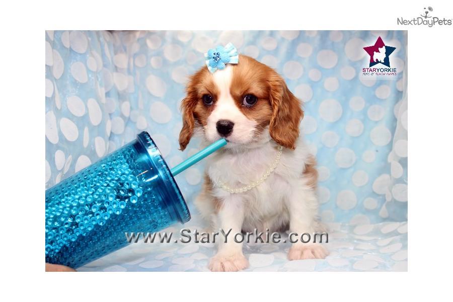 Brad Pitt Teacup Cavalier Puppy In Los Angeles