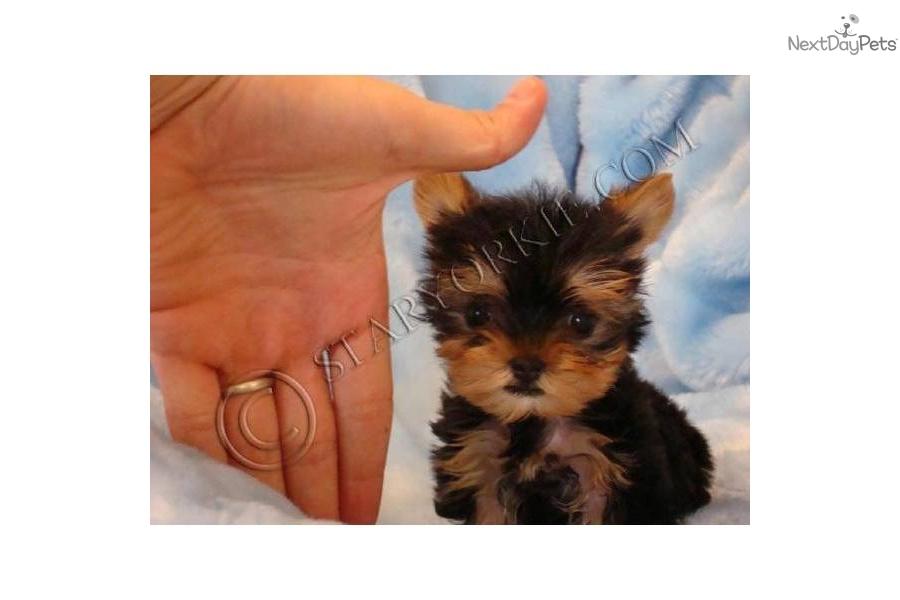 yorkshire terrier   yorkie puppy for adoption near