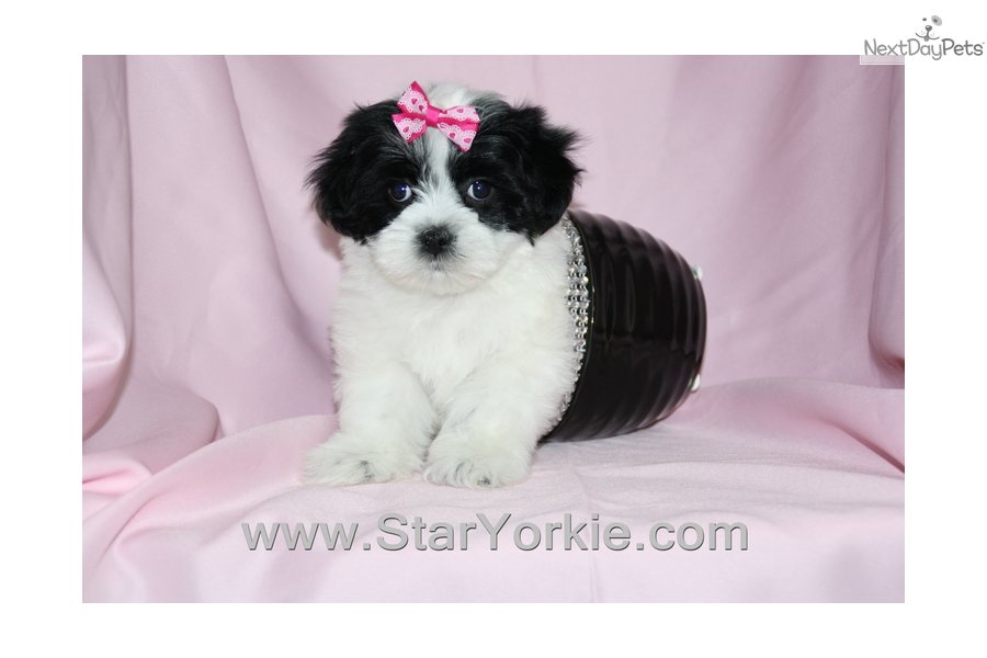 Havanese puppy for sale near Los Angeles, California ...