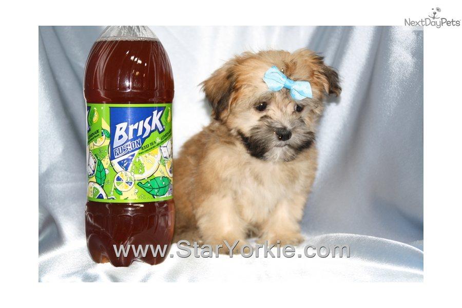 Havanese puppy for sale near Los Angeles, California | 2b1bfd8c-44e1