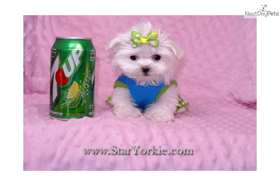 Pics Photos - Teacup Dogs For Adoption In Nc Sale Cheap That Offers ...