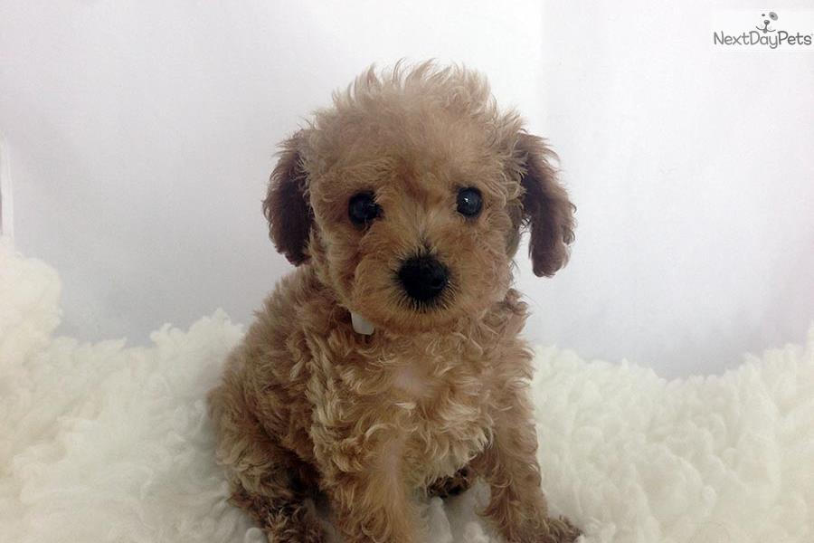 teacup maltipoo puppies for sale california dog breeds