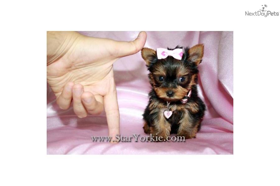 -yorkie-puppies-by-star-yorkie-kenneldog-yorkshire-terrier-yorkie ...
