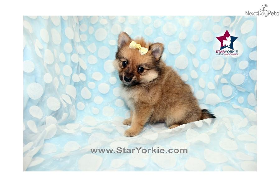 Related Pictures fabulous teacup puppies for sale