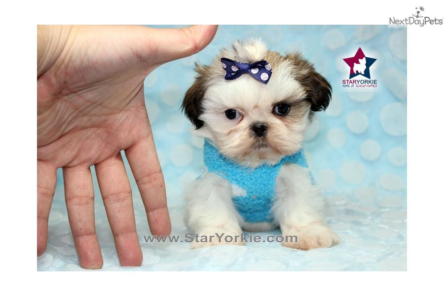Related Pictures Micro Teacup Size Yorkie Puppies For Adoption ...
