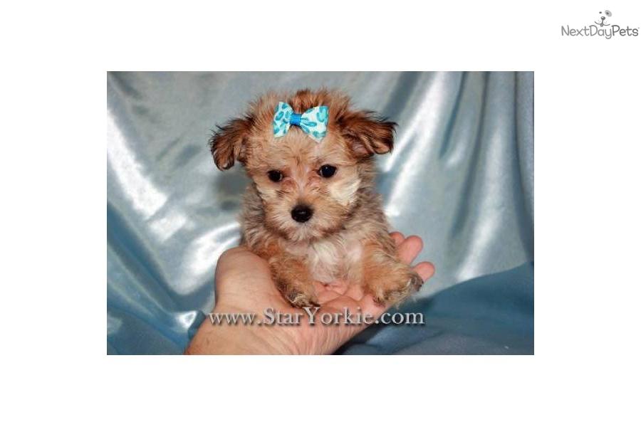 teacup-maltipoo-maltese--poodle-mix-puppiesdog-malti-poo-maltipoo