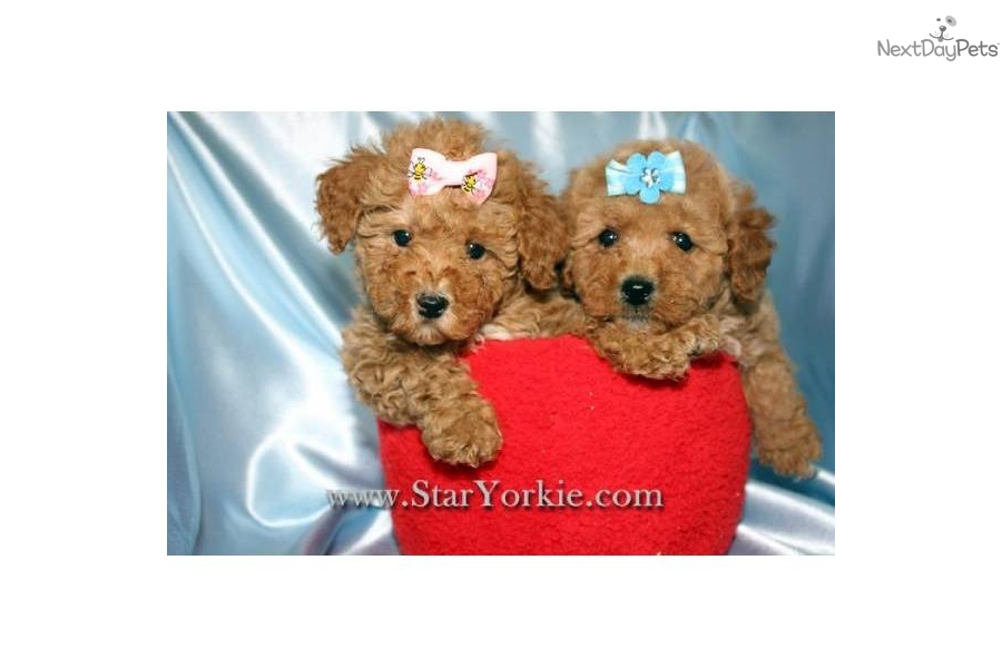 Red Teacup Poodle Puppy Teacup poodle puppies
